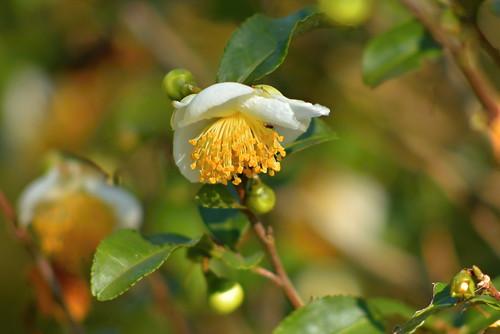 DSC_8578 茶の花
