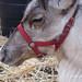 Reindeer    PB212043sm