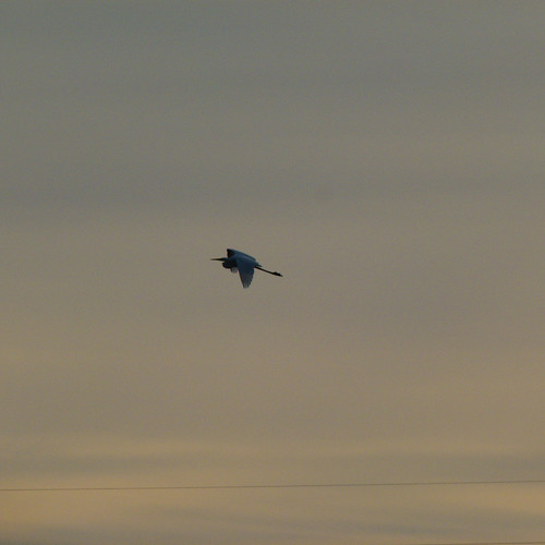 Great white egret flying off, Doxey