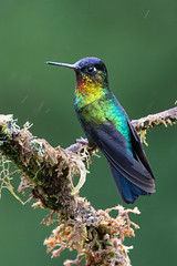 Fiery-throated Hummingbird - Costa Rica
