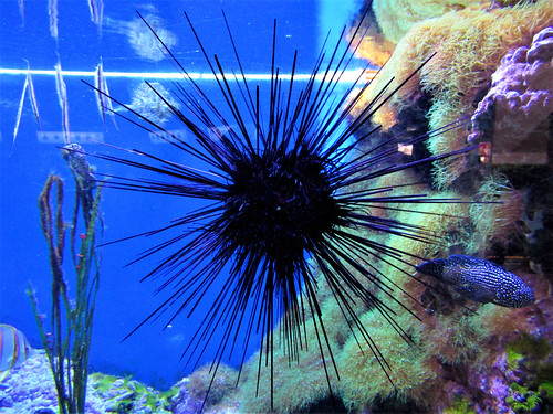 sea urchin in Gdynia Aquarium in Poland
