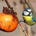 Cinciarella - Cyanistes caeruleus