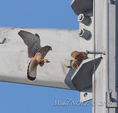 Faucon crécerelle Falco - tinnunculus - Common Kestrel : Michel NOËL © 2019-8780.jpg