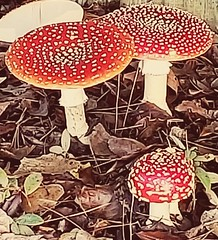 Fly agarics, two grown-ups and one small.