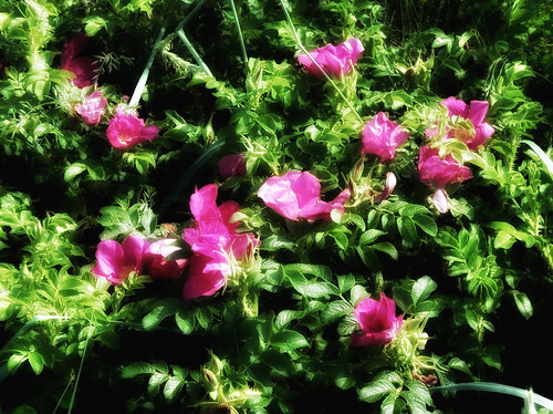 Wild rose in the photo app Snapseed