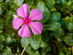 Garden Bloom - Rosy periwinkle