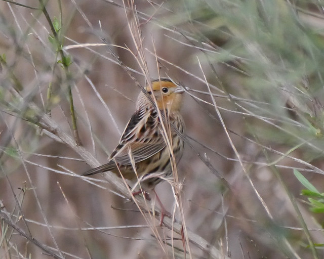 LeConte's Sparrow - 4