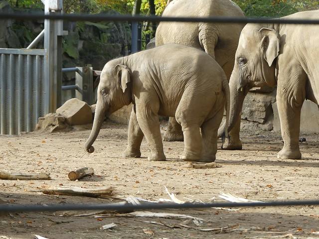 Asiatischer Elefant, Zoo Osnabrück
