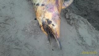 擱淺的台灣白海豚RIP特寫,郭祥廈攝。