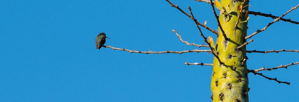 Hummingbird Booum_1