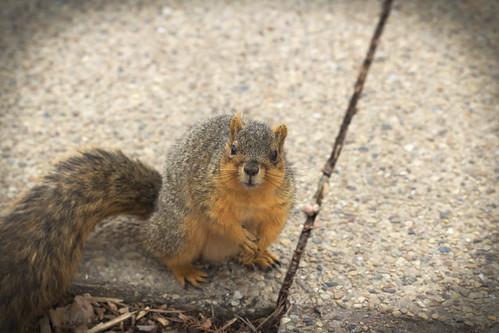 Squirrel, Morton Arboretum. 445 (EOS)