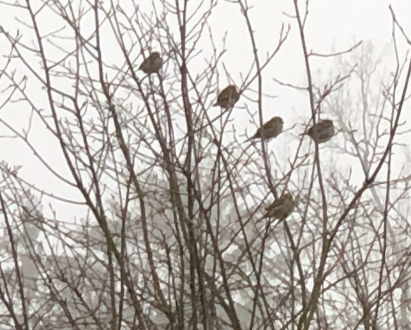 Morning Sparrows