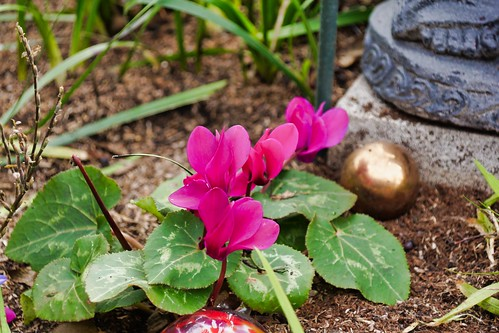 2019-01-28 - Nature Photography - Flowers - Cyclamen
