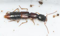 Homaeotarsus sp.