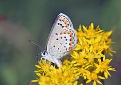 Melissa Blue (Lycaeides melissa)