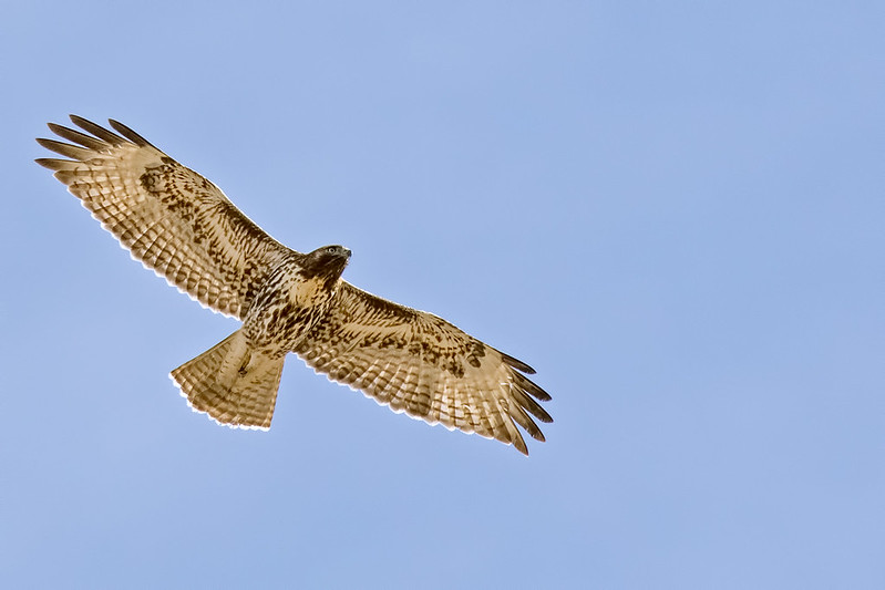 Red-Tail-28-7D2-112418