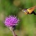 Moths (蛾)