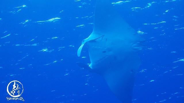 近くでぐるぐる泳いでくれました♪ 1mサイズのちびまんたちゃん♪