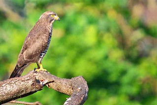 Grey-faced Buzzard Eagle