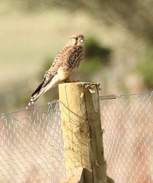 Kestrel on post - Prestbury Hill