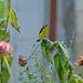 Lesser goldfinch male