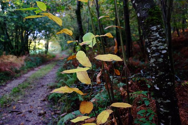 follas do castiñeiro