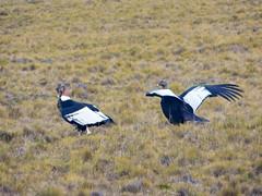 Condors & southern crested caracara