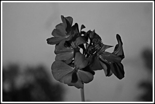 Flor roja en blanco, Nikon D3300, AF-S DX Nikkor 18-55mm f/3.5-5.6G VR II