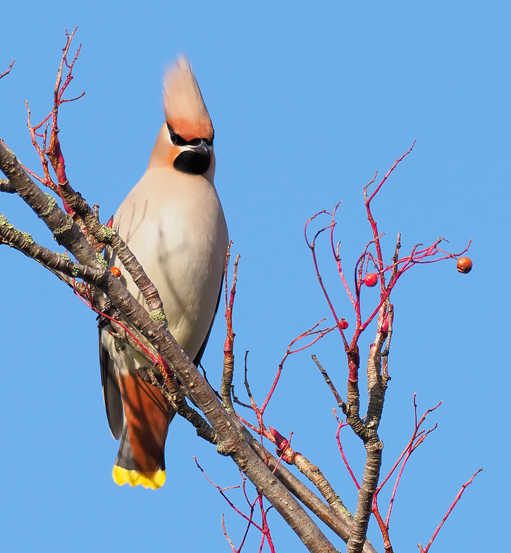 Waxwing - what a haircut!